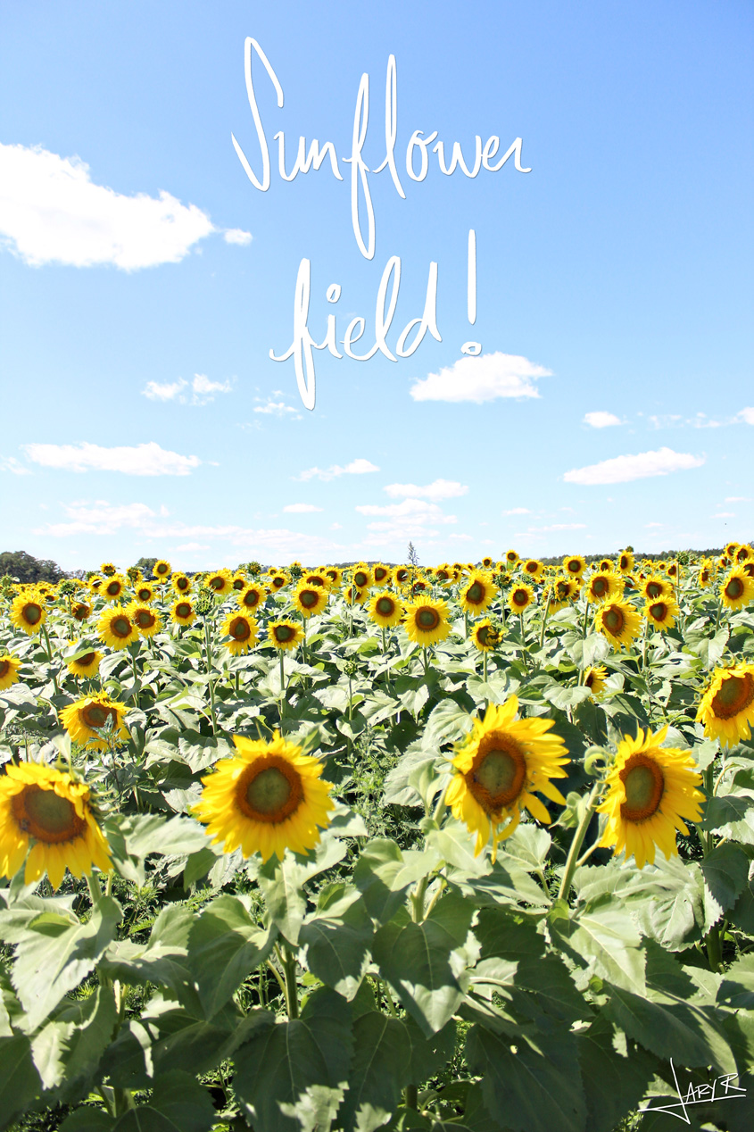Sunflower Field Middleton WI